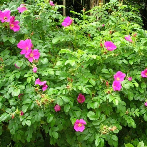 Cistus 'Sunset' ('Brilliancy') Pink Rockrose Cistus. A profusion… – Beau Jardin