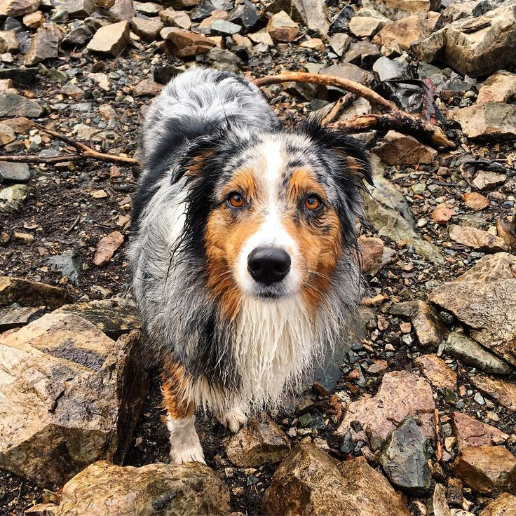 """Phinnie is a 3 y/o Aussie...she is full of energy and absolutely loves hiking...this was taken after she took a swim in Snow Lake,"" writes @nataliemzee. #dogsofinstagram"