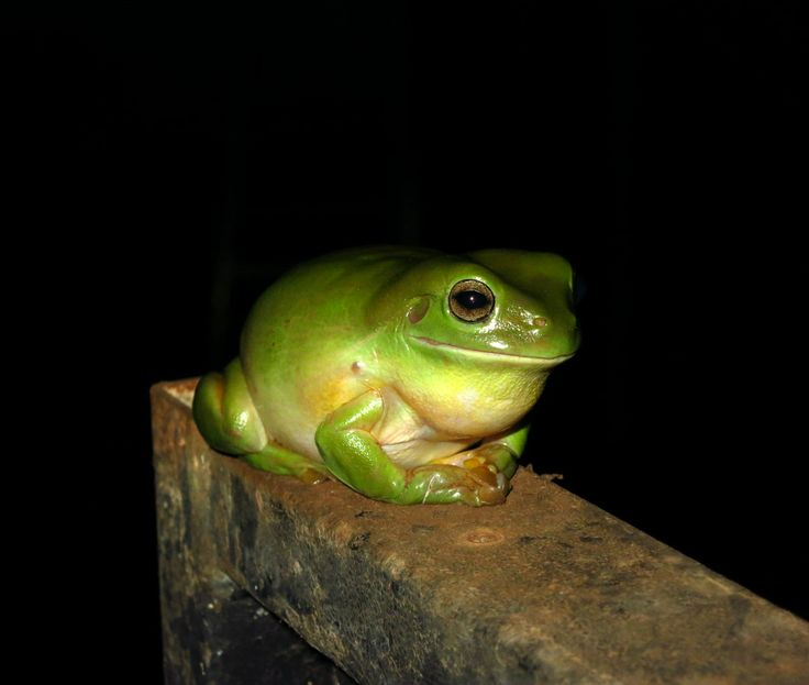 Green tree frogs abound in the Kimberley. Always wet your hands before you pick them up. They are so soft and very cute.