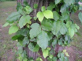 poison ivy plant images - Norton Safe Search
