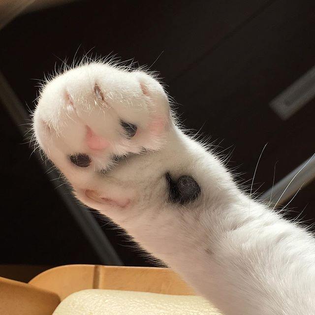 肉球シリーズ✨😻✨❗️❗️ 今日の肉球も、非常にプニプニでした✨😻✨ #猫好きさんと繋がりたい #猫 #愛猫 #肉球 #ぷにぷに #ねこ #ねこ部 #ねこら部  #cat #cats #catsofinstagram #cutecats #ilovecat #lovecats  #instagram #instagramcats  #japan