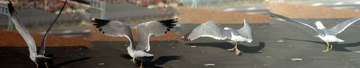 Seagull - flight technique by Gianni Del Bufalo CC BY-NC-SA -IMG-3902-05 stitch