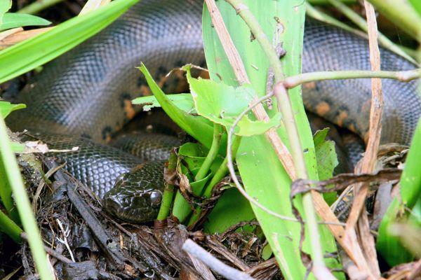 Juvenile green anaconda (Eunectes murinus) in Yasuni National Park in the Ecuadorian Amazon   Image code: Yasuni_104   Photographer: Jeremy Hance