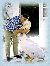 Petros the pelican - Mykonos island's mascot (Greece)