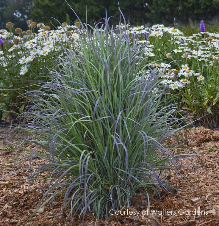 17 best fall favorites images on pinterest grasses ornamental hoffman nursery plants without bloom dry to average soil starts blue and turns dun color early fall workwithnaturefo