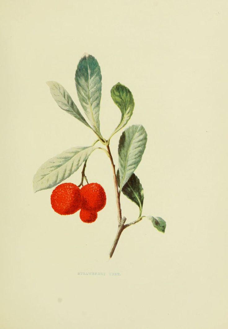 Arbousier - arbutus unedo - arbre aux fraises - fruits sauvages campagne - Provence Corse