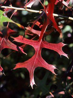 NPIN: Quercus texana (Nuttall oak)