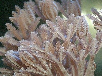 Pulse or Xenia Coral Pictures: Xenia elongata Coral