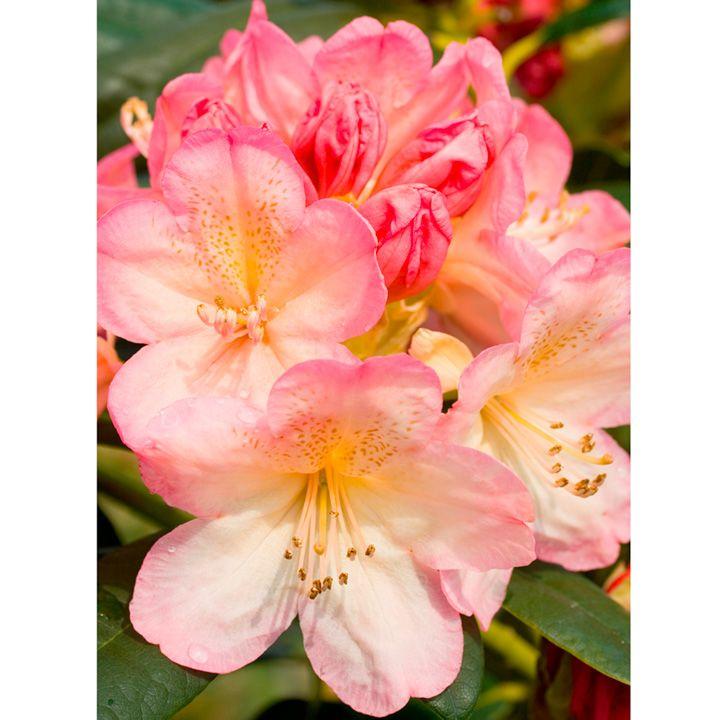Les 77 Meilleures Images Du Tableau Rhododendrons Sur Pinterest