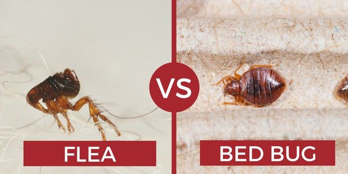 Can Bed Bugs Fly Or Jump How Do They Move With Images Bed
