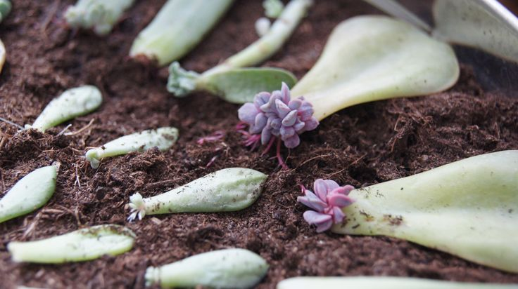 sale purses How to Propagate Succulents from Leaves    via wikiHow com