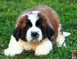 St Bernard (: Best dogs ever... we will have one oneday!