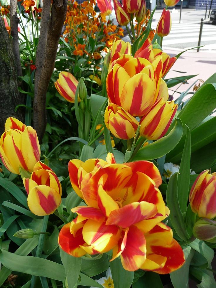 Tulipe pluriflore http://www.pariscotejardin.fr/2013/05/tulipe-pluriflore/