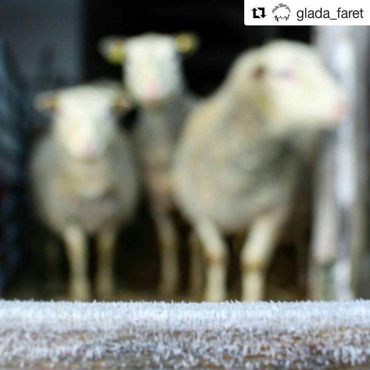 #Repost @glada_faret (@get_repost)  God J-ull önskar jag och min flock! Önskar dig en lugn och skön jul med mat från svenska gårdar. #godjul #felfokusmenblevganskacooltändå