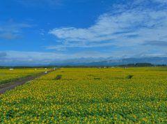 宮崎県高鍋町といえば一面に広がるキャベツ畑それが夏の間はヒマワリだらけになるんですよー 8月13日2016年8月14日はそのヒマワリを楽しむイベント第7回きゃべつ畑のひまわり祭りが開催されるよ ひまわり見たあとは地元の農産物や地元グルメのお店が並ぶのでそれもしっかり楽しまなくちゃね tags[宮崎県]