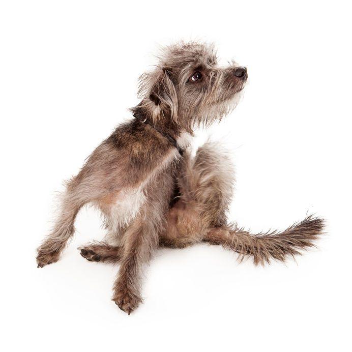 dog flea prevention