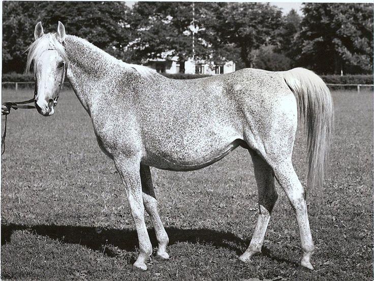 BANDOLA (Witraz x Balalajka, by Amurath Sahib) 1948 grey mare Full Sister to *BASK++ Dam of *BANDOS