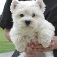 Westie!: Terriers Puppies, Polar Bears, Small Dogs, Dogs Breeds, Bears Cubs, Westies Pup, Westies Dogs, Future Pet, Future Dogs