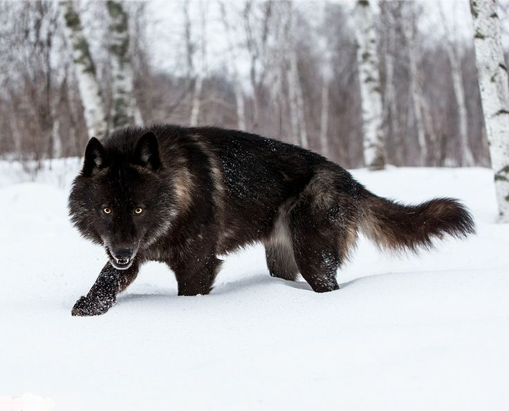 Werewolves are among us! by Conrad Tan Black Timber Wolf Billy