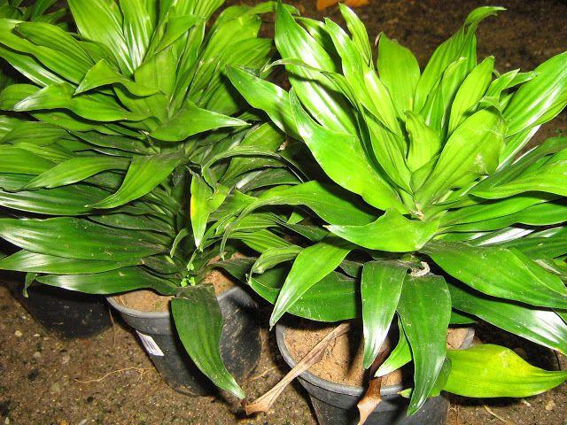 DRACENA COMPACTA  Meu Cantinho Verde: DRACENAS - Só Fotos