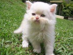 Aprender a cuidar animales y mascotas: Cuidados de gatos persas