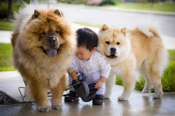 Chow Chow Dog Price Range How Much Does A Chow Chow Cost Cho
