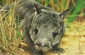 Wombat australijski.