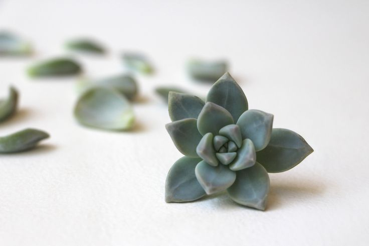 Succulent and Leaves: Propagating Succulents via Needles + Leaves. Learn how to propagate succulents from leaves and cuttings.