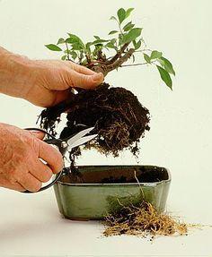 * Ultima actualização: 2013 05 23 TRANSPLANTES: - Folhosas: Início da estação de crescimento até meio do verão - Coníferas ou folhas espinhosas: Dias mais frios do ano. Deve-se fazer o transplante ...