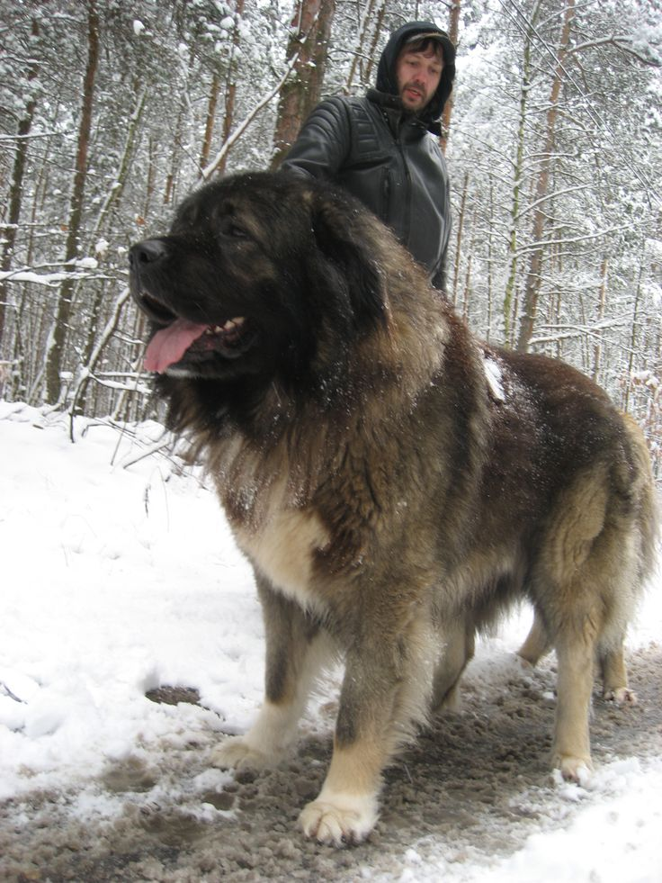 The Caucasian Mountain Dog was developed in medieval Russia for guarding livestock.  It is a powerful, robust breed, popular at Russian dog shows.  Its temperament remains cautious with strangers & difficult to obedience train.  It is not recommended with children nor other dogs, nor in urban spaces.  The thick, dense coat provides good protection against cold weather.