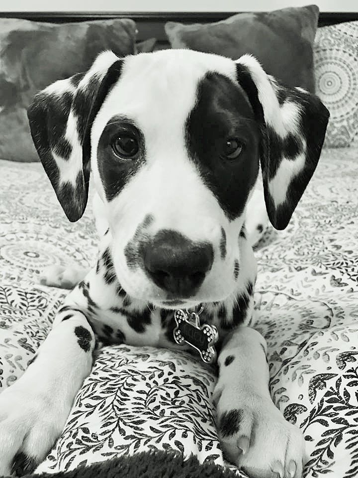 Spot the darling Dalmatian pup ❤️