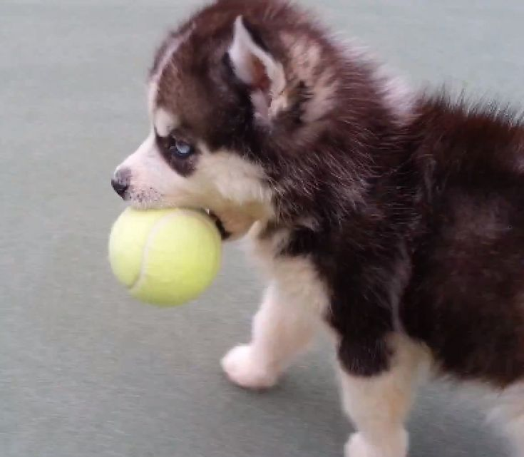 Husky Puppy Discovers the Tennis Ball and Wont Let it Go (Video).