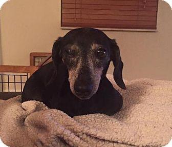 Still listed: Sept. 20, 2016. Weston, FL - Dachshund. Meet Faye, a dog for adoption…