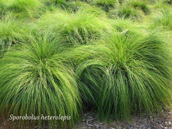 Sporobolus heterolepis prairie dropseed ornamental for Best low growing ornamental grasses