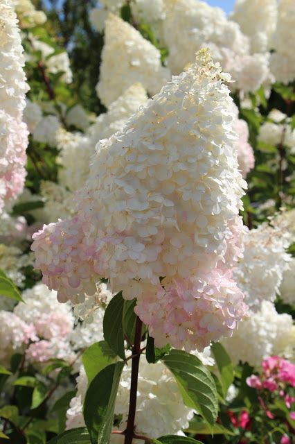<3 Vanilla Strawberry Hydrangea. To 7', blooms summer to fall, cut back by 1/3 in spring and add rose fertilizer.