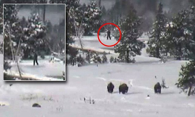 Video taken at Yellowstone National Park that was meant to show some bison roaming around may show something far more exciting and elusive - a pack of bigfoots roaming around.