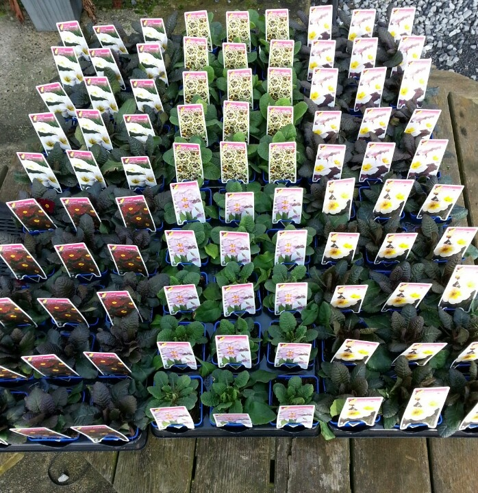 Selection of wonderful unique Irish bred Primroses available for first time. Start your garden collection this Spring.