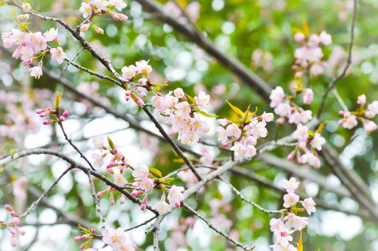 桜は、日本を象徴する花木の1つです。日本書紀や古事記など古くから書物にも登場し、平安時代に花といえば桜のことを指していました。春になると美しく咲く桜の花を見に、多くの方が名所に訪れますよね。今回は、毛虫の駆除方法、苗木の植え方や時期など、桜の育て方をご紹介します。 桜(サクラ)の育て方のポイントは? 日当たり