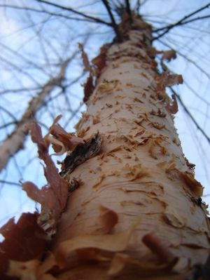 [Betula nigra] Monthly Plant Care Reminders By Steve Brigham