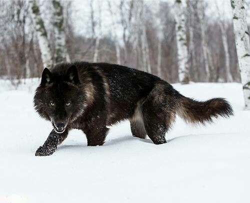 This is Howler or Chris Allen. He is the Beta of his pack. He cant be Alpha unles he find a Feamle Beta.