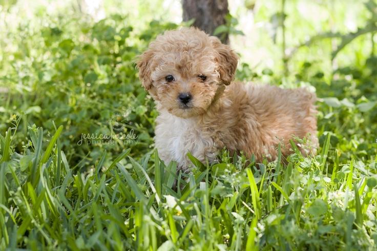 Best 25+ Maltese poodle ideas on Pinterest | Maltese ...