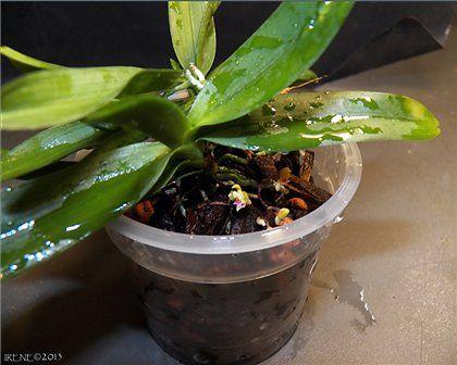Irene (Мои орхидеи) (продолжение 4)