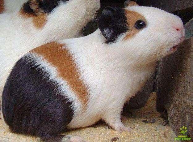 Porquinho da India