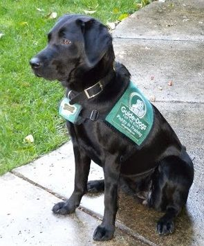 Maybelle in her Guide Dog for the Blind jacket. Female black Labrador.