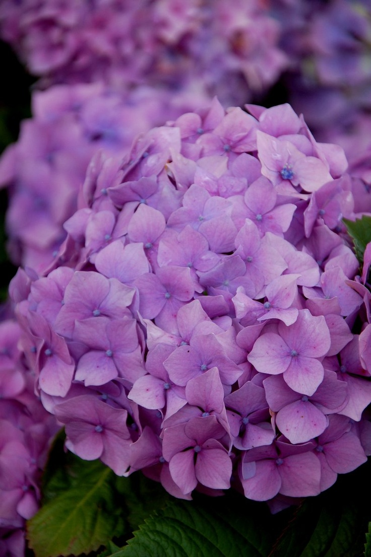 17 best images about hortensia on pinterest hydrangea. Black Bedroom Furniture Sets. Home Design Ideas