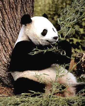 oso panda