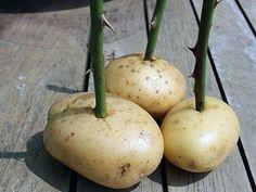 Черенкование розы в картошке!  Фокус в том, что молодая картошка создает для черенка постоянную влажную среду, поэтому размножение роз в картошке – один из самых популярных способов вегетативного размножения. Кроме того, черенки получат из картофеля полезные углеводы и крахмал.
