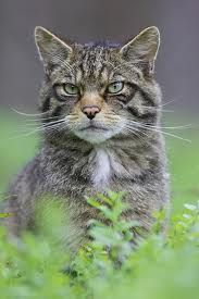 The Scottish wildcat, the only native British cat in existence, sadly only 100 remain. For more info check out the Scottish Wildcat Association at http://www.scottishwildcats.co.uk/, and the Highland Tiger project at www.highlandtiger.com
