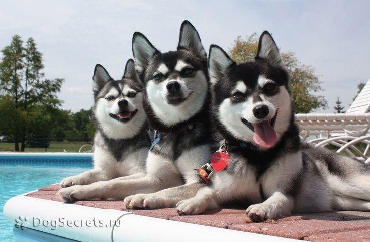 Аляскинский кли кай (мини хаски): описание породы, фото, цена щенков, где купить