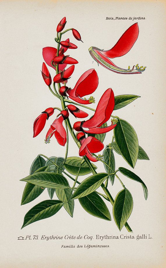 Antique print 1896 Antique BOTANICAL print, lovely chromolithograph of a Erythrina crista-galli, cockspur coral tree